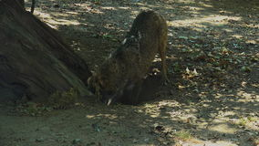 Wolves digging at the root of a tree, with the mating ritual stock video footage