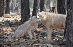 Wolves Showing Dominate Behavior. Dominate behavior in Wolves with one biting the other Royalty Free Stock Images