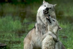 Wolves fighting for donimance stock photos