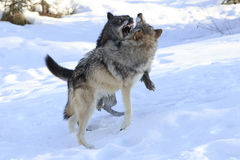 Wolves fighting over female wolf