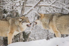 Wolves fighting Royalty Free Stock Images