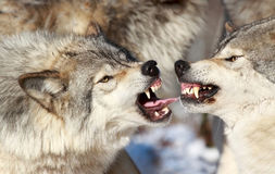 Wolves figthing. Wolves fighting in nature during winter stock photo