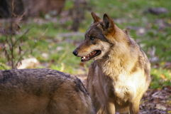 Wolves in forest Stock Photos