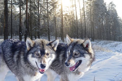 Wolves and forest in the snow Stock Image