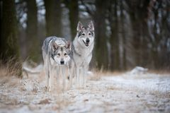 Wolves in forrest in winter. In forrest Royalty Free Stock Image