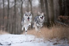Wolves in forrest in winter on snow. Wolves in forrest in winter time on snow stock photos