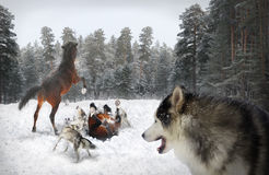 Wolves and horses Stock Images