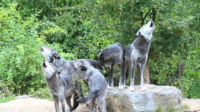 Wolves stock footage
