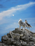 Wolves howling on the rock. Three wolves sing their solemn song - howl royalty free stock image