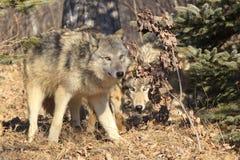 Wolves on hunt