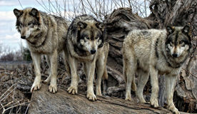 Wolves on a log. Three two wolves standing on a log royalty free stock image