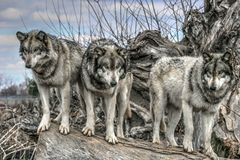 Wolves on a log Royalty Free Stock Images