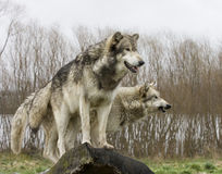 Wolves on the Lookout Royalty Free Stock Image