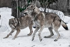 The wolves are male and female during the rut mating games, the wolf cares for the she-wolf, the predatory animals play and jump. The winter is a snowy royalty free stock images