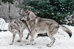 The wolves are male and female during the rut mating games, the wolf cares for the she-wolf, the predatory animals are playing,. The winter is a snowy royalty free stock images