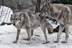 The wolves are male and female during the rut mating games, the wolf cares for the she-wolf, the predatory animals are playing,. The winter is a snowy stock photography