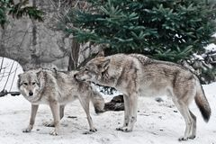 The wolves are male and female during the rut mating games, the wolf cares for the she-wolf, the predatory animals are playing,. The winter is a snowy royalty free stock photos