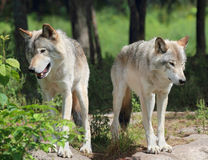 Wolves in nature Stock Images