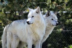 Wolves. At a nature preserve in Wyoming stock photo