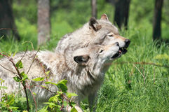 Wolves Stock Images