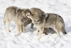 Wolves pack Stock Photo