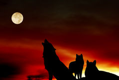 Wolves pack with moon. Pack of three wolves at sunset with full moon Stock Image