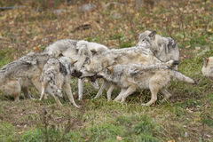 Wolves pack Stock Photography