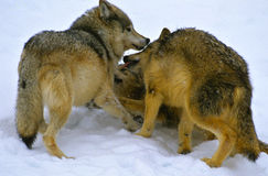 Wolves at play. Three wolves playing with each other in the snow Royalty Free Stock Photos