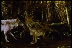 Wolves play fighting in jungle