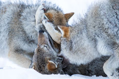 Wolves playing. In polar park in Troms, Norway royalty free stock photo