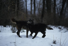 Wolves playing in Snow. Two gray wolves playing in snow in winter Royalty Free Stock Photos