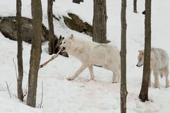 Wolves with prey Royalty Free Stock Photography