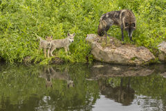 Wolves And Reflections Royalty Free Stock Photo