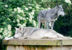 Wolves resting Royalty Free Stock Images