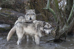 Wolves in the River Stock Photos