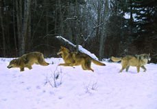Wolves Running in Snow. Three grey wolves running through snow in winter Royalty Free Stock Photos