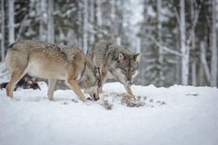 Wolves scavenging royalty free stock image