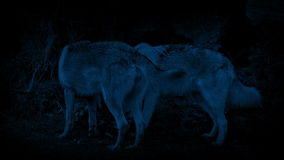 Wolves Scavenging Through Trash At Night. Couple of wolves eating things in the trash late at night stock video footage