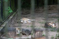 Wolves sleeping in a zoo enclosure. Pack of wolves sleeping in a zoo enclosure, Poland royalty free stock photography