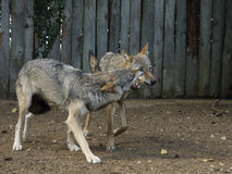 Wolves snarling. Captive wolves exhibiting social behaviour Royalty Free Stock Photo
