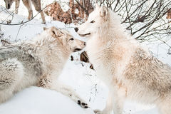 Wolves in snow. Two female white artic  wolves posing in snow Stock Photography