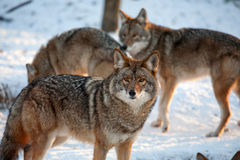 Wolves in the snow. Wolves standing in the snow on a cold winter day Royalty Free Stock Photography