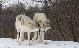 Wolves on snow. Wolves in winter near Montreal Royalty Free Stock Photography