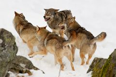 Wolves in the snow Royalty Free Stock Image