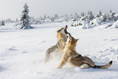 Wolves in the snow Stock Images