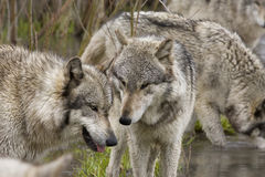Wolves Talking it Over Royalty Free Stock Images