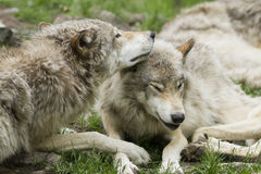 Wolves tenderness Stock Photo