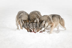 Wolves. Three Grey Wolves feeding with their heads together while looking directly at the camera Stock Photo