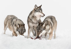 Wolves. Three Grey Wolves, two are feeding on scraps of meat but one has its attention focused on something outside frame right Stock Photo