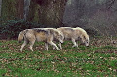 Wolves. Two wolves in Long Leat royalty free stock images